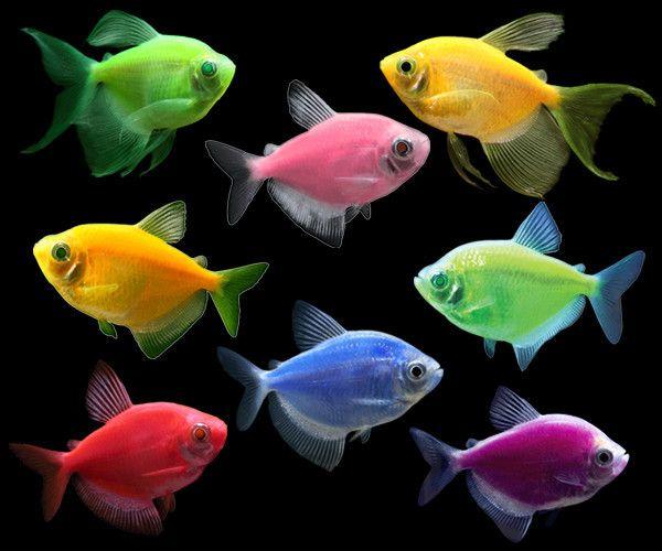 Glofish Tetra Deluxe Collection Glofish Glow Fish Glofish Aquarium