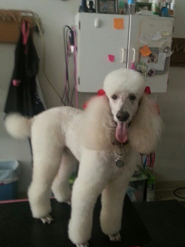 1 Black 1 Inch Length Hair All Over Poodle Head And Bows Poodle