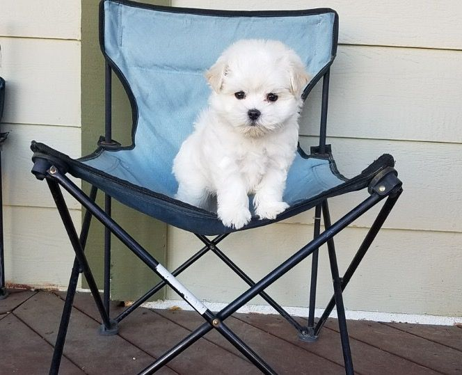 Maltese puppy for sale in LOS ANGELES, CA. ADN52014 on