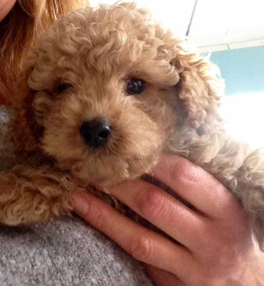 Beautiful Apricot Cavapoo Puppies For Sale Beautiful Apricot