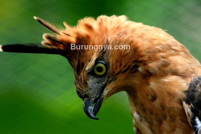 Apakah Burung Garuda Asli Sama Dengan Elang Jawa Burungnya Com Di 2020 Elang Asli Hewan