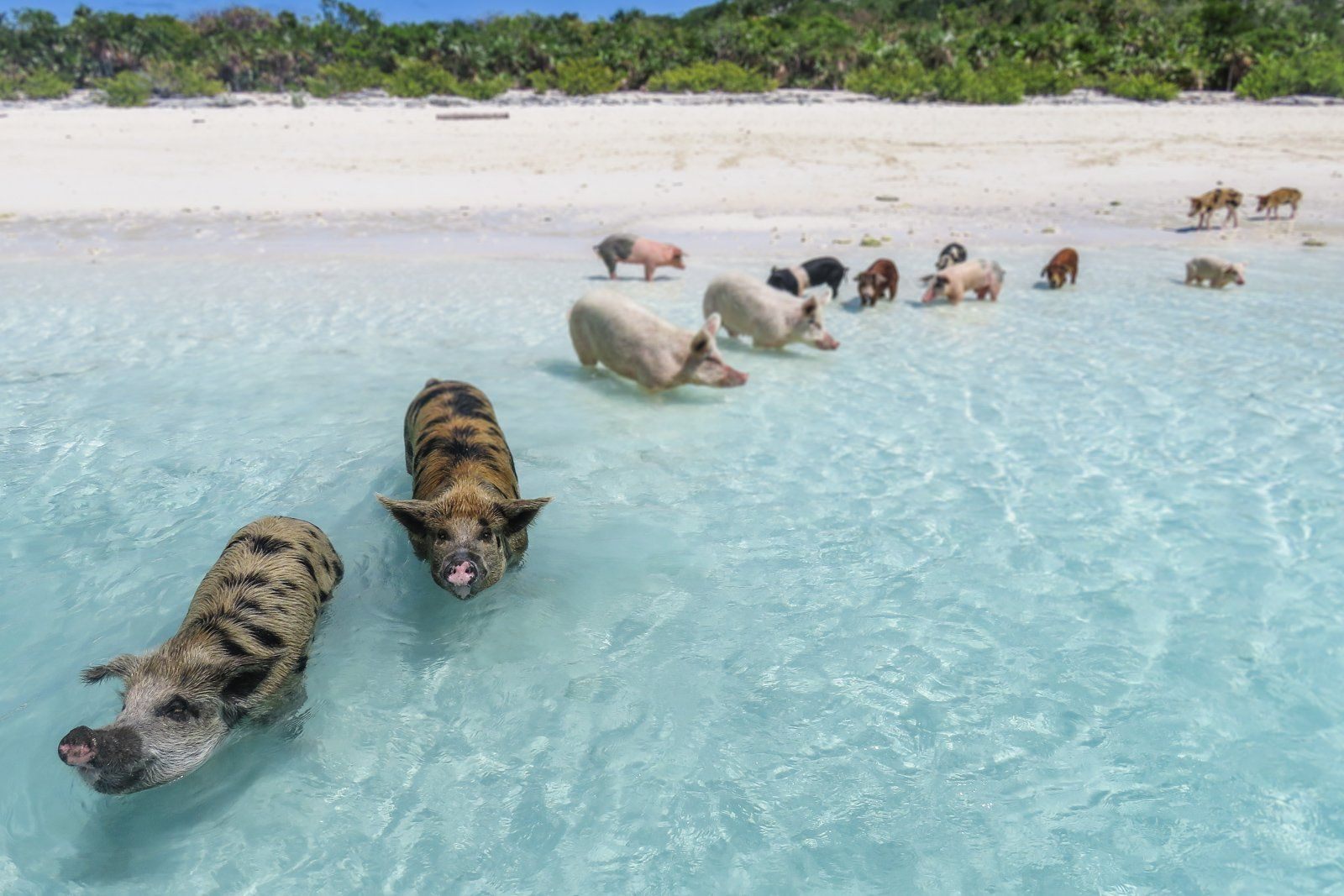 Swimming Pigs At Pig Beach In 2020