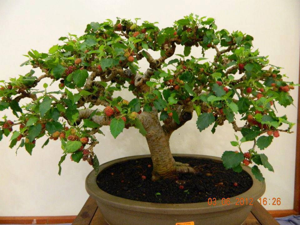 Mulberry Bonsai Garden Bonsai Garden Bonsai Fruit Tree
