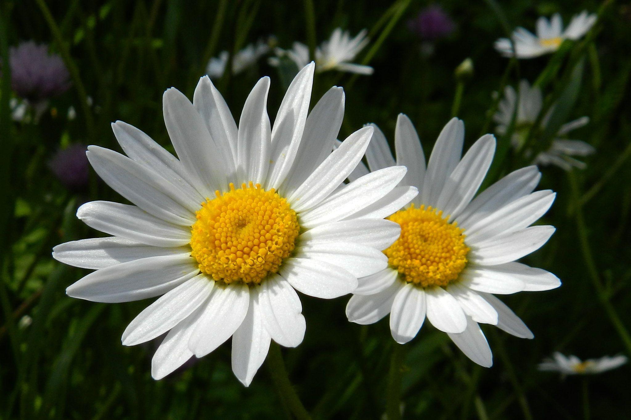 korean birth flower meaning