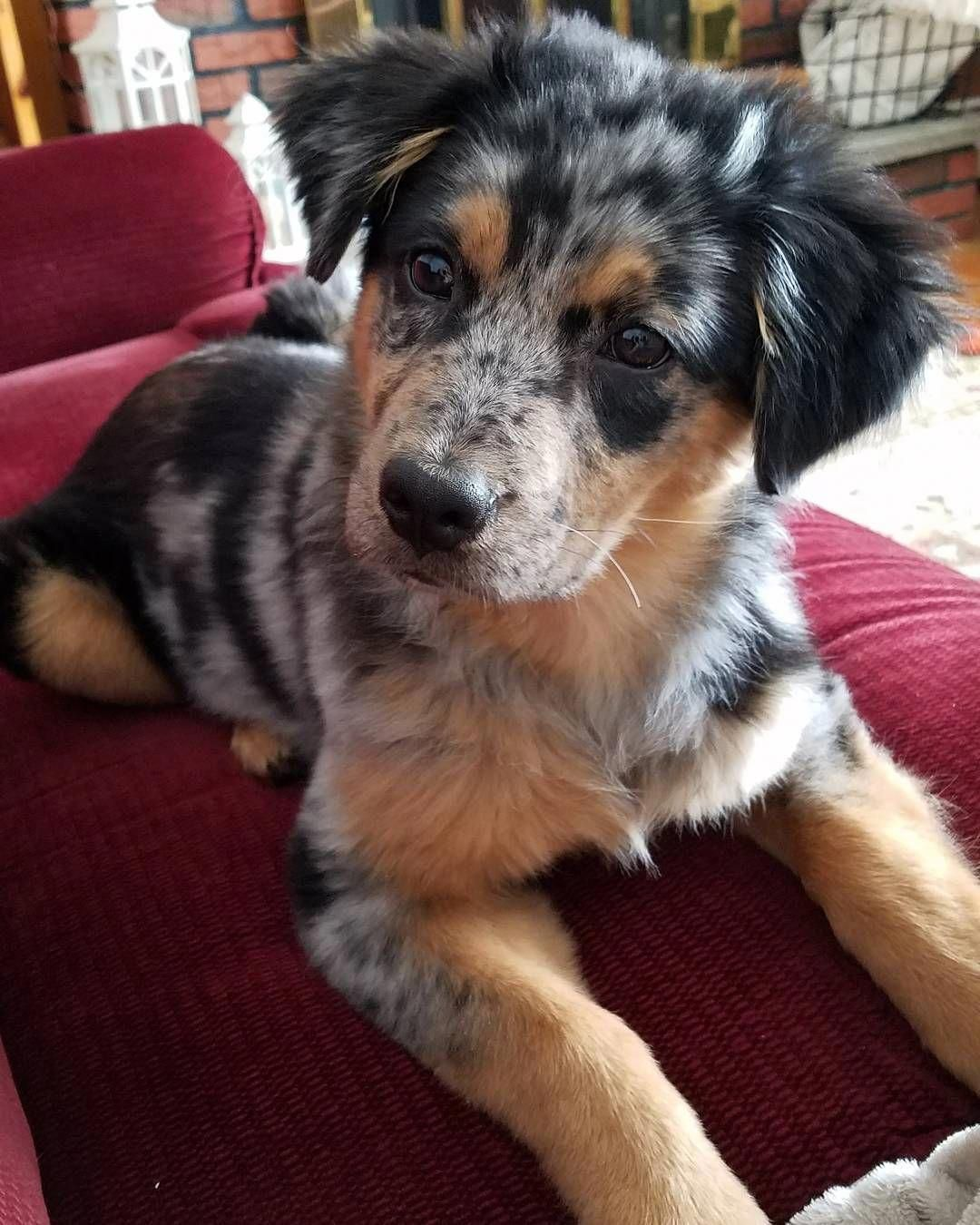 Everything About The Australian Shepherd Dogs Personality