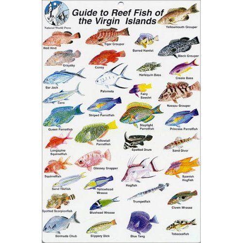 Virgin Islands Fish Images Fish Identification Cards Reef Fish British Virgin Islands 9 X 6 Fish Ocean Creatures British Virgin Islands