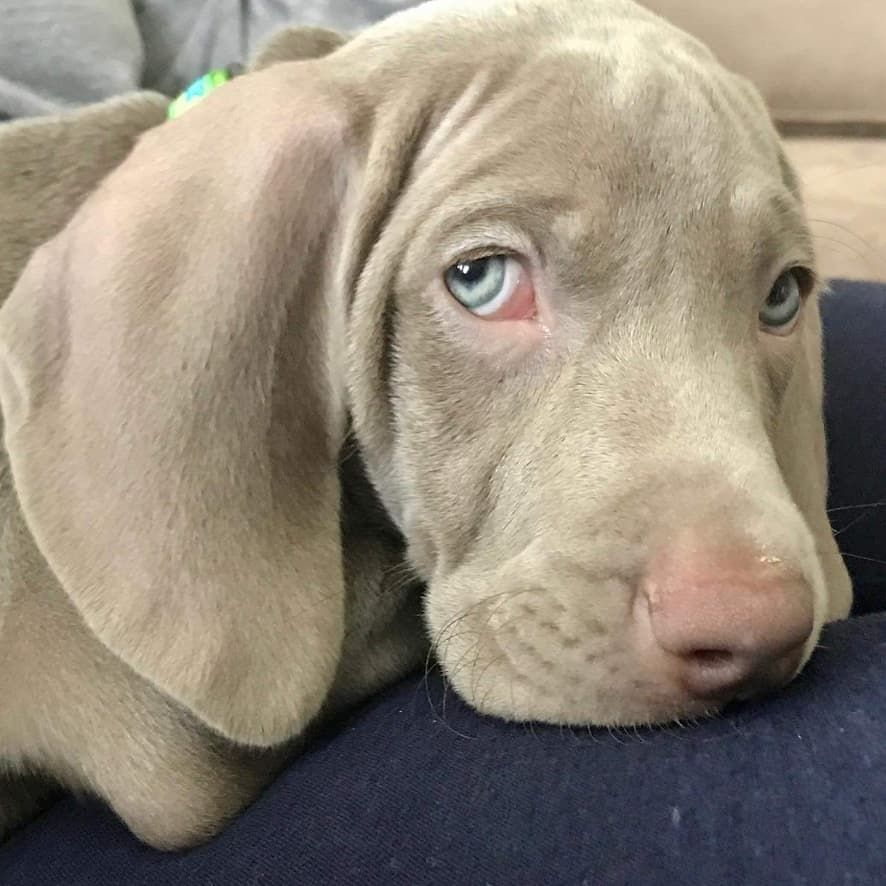 Weimaraner Dog Information Pictures Appearance Facts