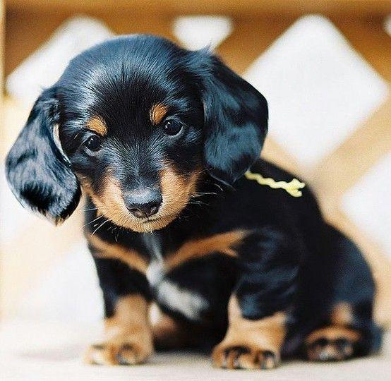 Înțelegerea temperamentului tău dachshund