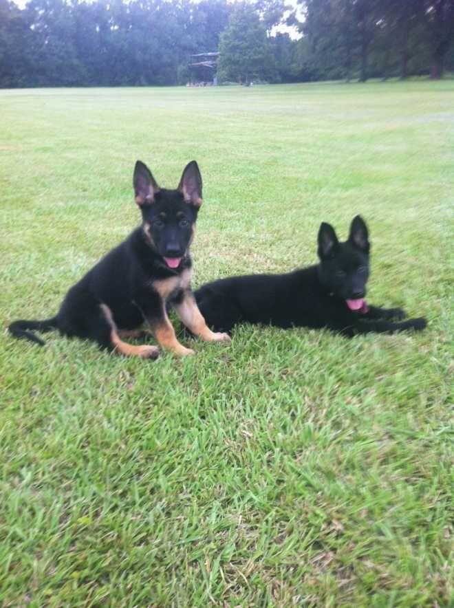 Akc German Shepherd Puppies German Shepherds For Sale