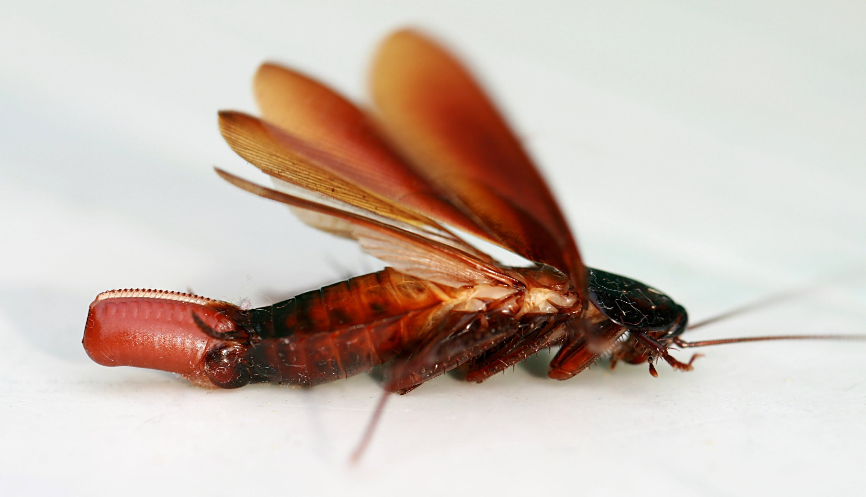 American cockroach is a widely known insect pest infesting