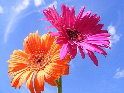 Wedding Flower Saturdays: Gerbera Daisy Wedding Ideas!