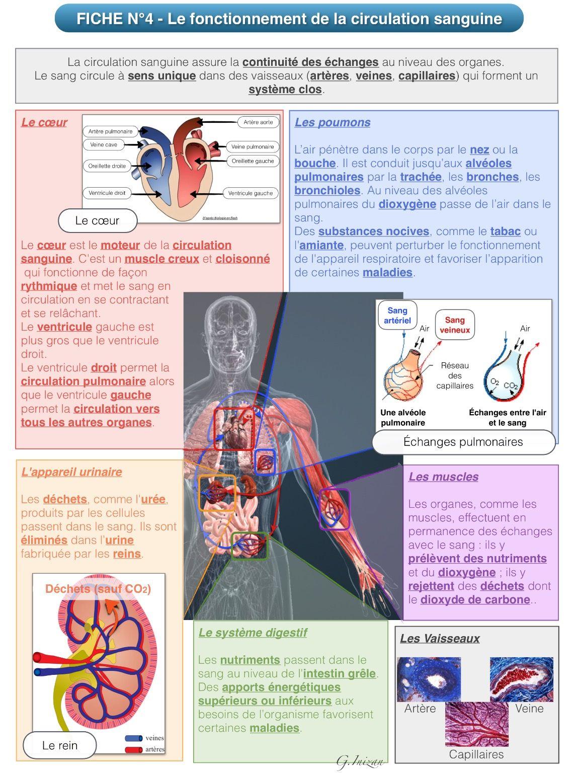 La circulation sanguine - Révisions du programme de 5eme ...