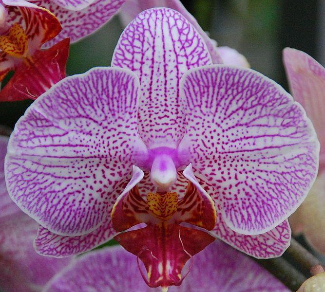 Phalaenopsis Hybrid A Member Of The Orchid Family Phalaenopsis