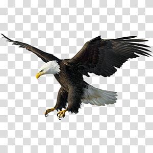 Flying Eagle Illustration Bald Eagle Drawing Illustration Flying Eagles Transparent Background Png Clipart Eagle Drawing Bald Eagle Eagle Painting