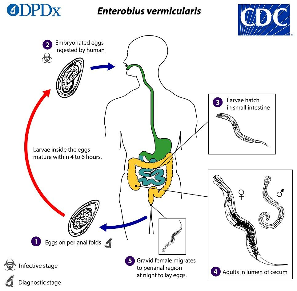 Enterobiasis tratamiento ninos. Tratamiento de enterobiasis