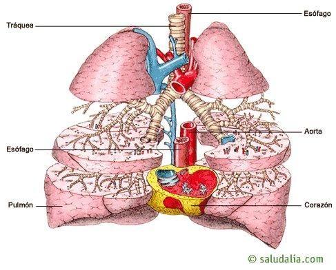Relaciones anatómicas de los pulmones | Educación | Pinterest ...