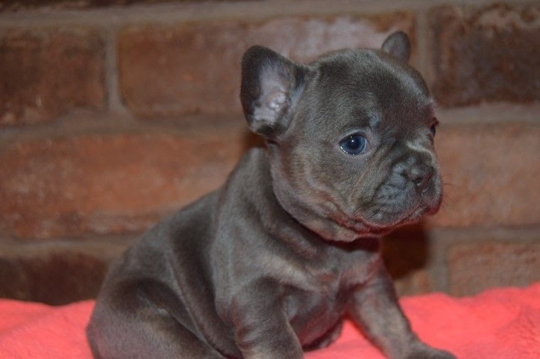 French Bulldog Breeders Frenchie Life Southern Maryland French