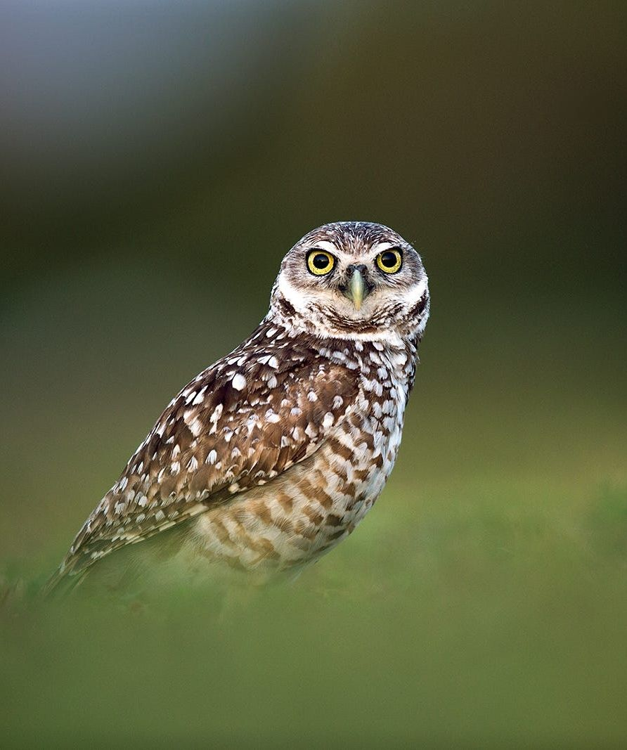 "beautiful-wildlife: ""Owl by © JH Atala """