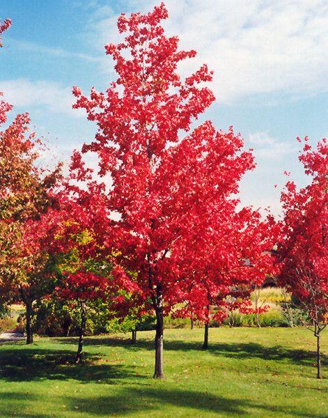 Acer Rubrum Red Canadian Maple Acer Rubrum Specimen
