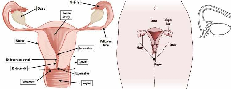 All About Placenta Functions Of Placenta Hormones Of Placenta
