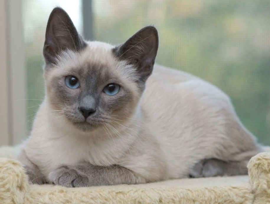 Siamese Blue Point Apple Head Blue Point Siamese Siamese Cats