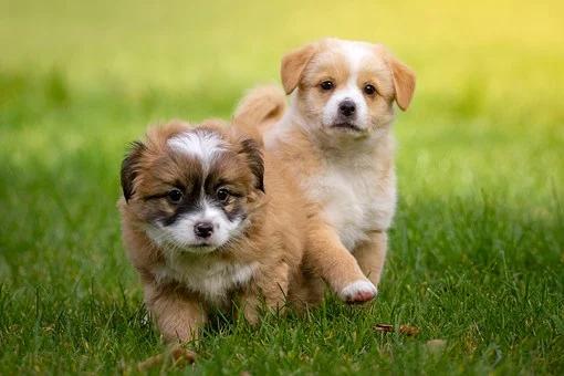 Texas Sanantonio Bastrop Smithville Austin Sanangelo Georgetown Collegestation Corpuschristi Houston Pharr And M Baby Puppies Yorkie Poo Animal Law