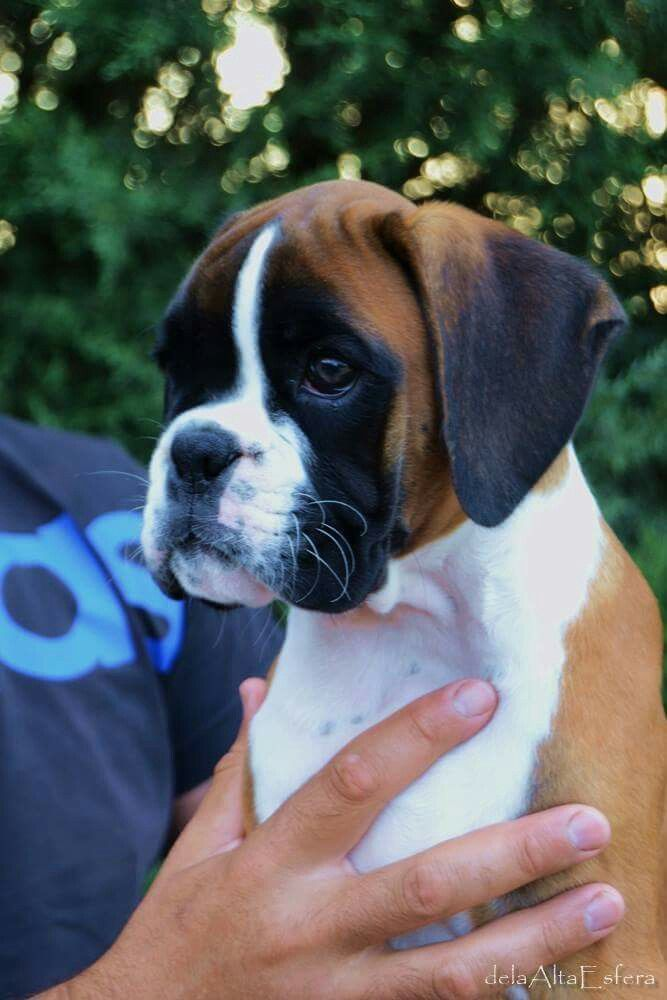 Pin By Evelyn Mccorristin Peters Co On Just Dogs Boxer Puppies Boxer Dog Puppy Boxer Breed
