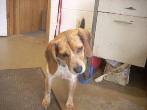 Adopt 6 Urgent Rusty 3 Ish On Petfinder Adoptable Beagle Dog Pounds Beagle Dog