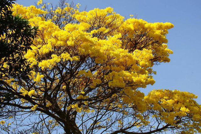 The Summer Of Gold How The Yellow Cortez Tree Can Change Belize Belize Tree Belize Travel
