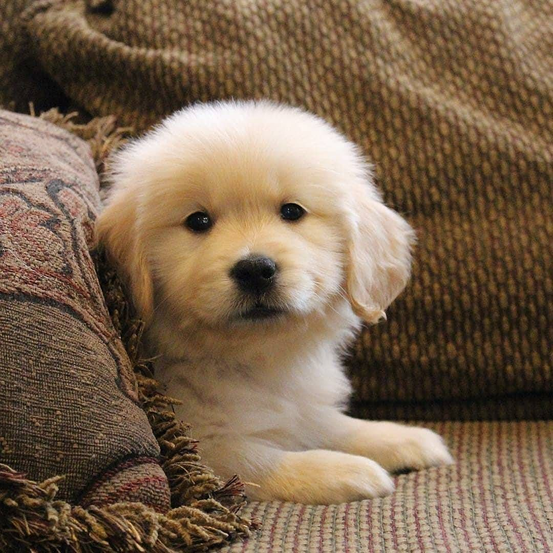 Pin By Nicole On Golden Retriever Puppies Baby Dogs Cute Dogs
