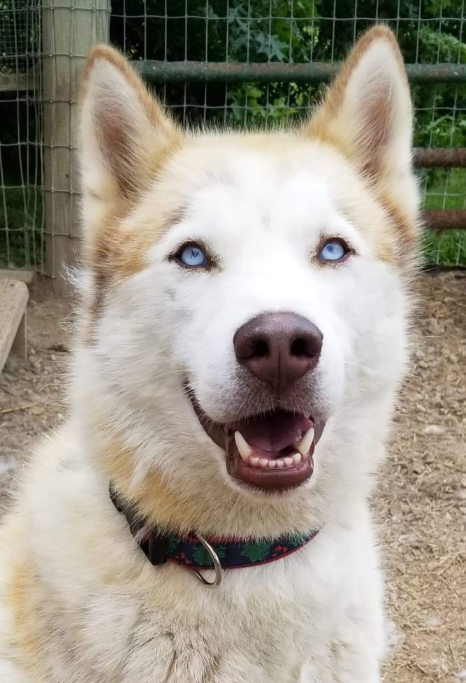 Dog for adoption Cinder, a Siberian Husky & Husky Mix in