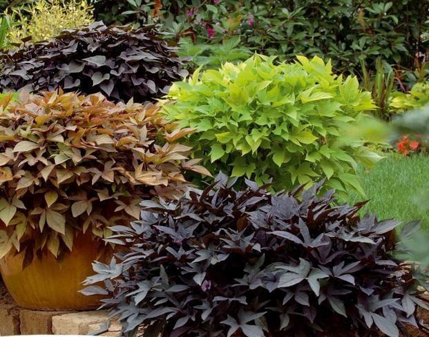 Wilce Atrakcyjne Rosliny O Ozdobnych Lisciach Na Balkony Tarasy I Rabaty Plants Balcony Plants Balcony Flowers