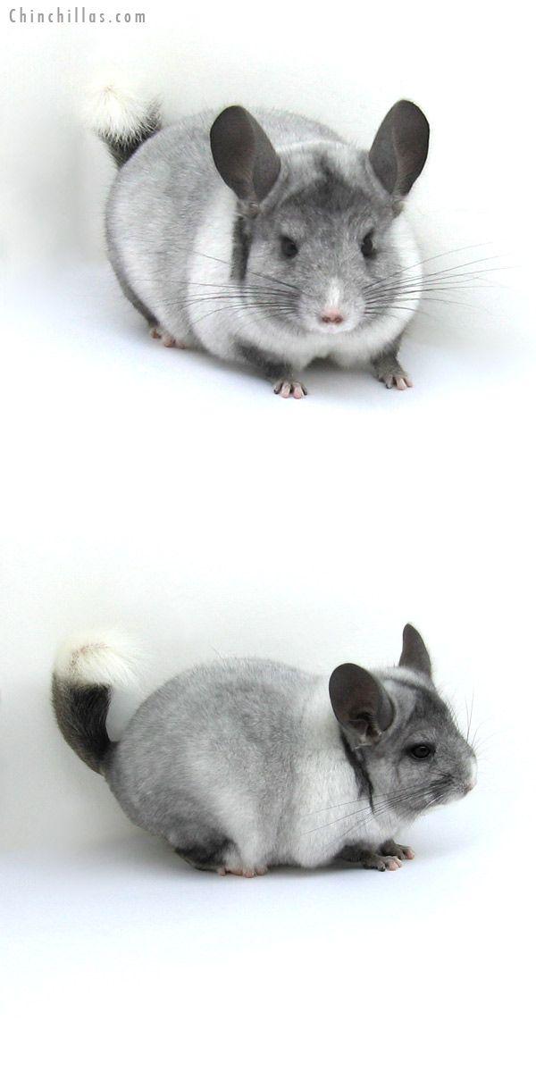 12180 Ebony White Mosaic Possible Locken Carrier Male Chinchilla Chinchilla Pet Chinchilla Cute Cute Animals