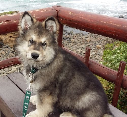Alaskan Shepherd Dog Breed Information And Pictures Alaskan Shepherd
