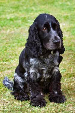 Training A Puppy To Sit Blue Roan Cocker Spaniel Dogs