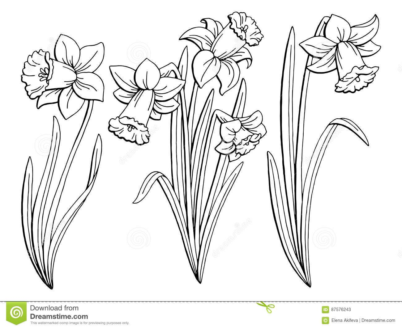 Narcissus Flower Graphic Black White Isolated Sketch