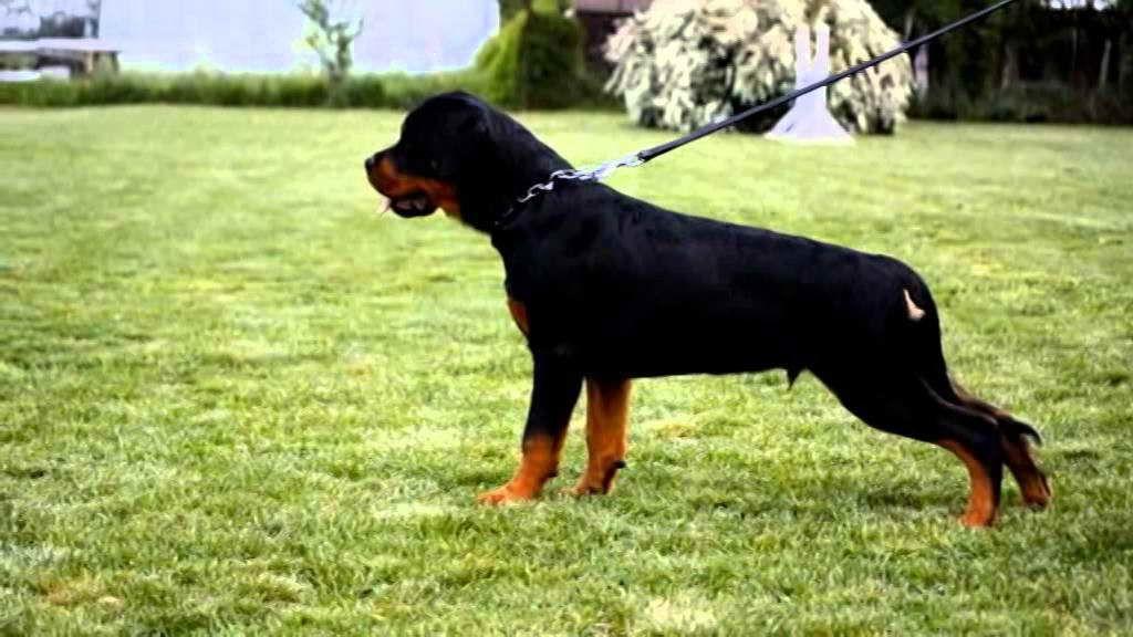 4 Month Old Rottweiler Puppy
