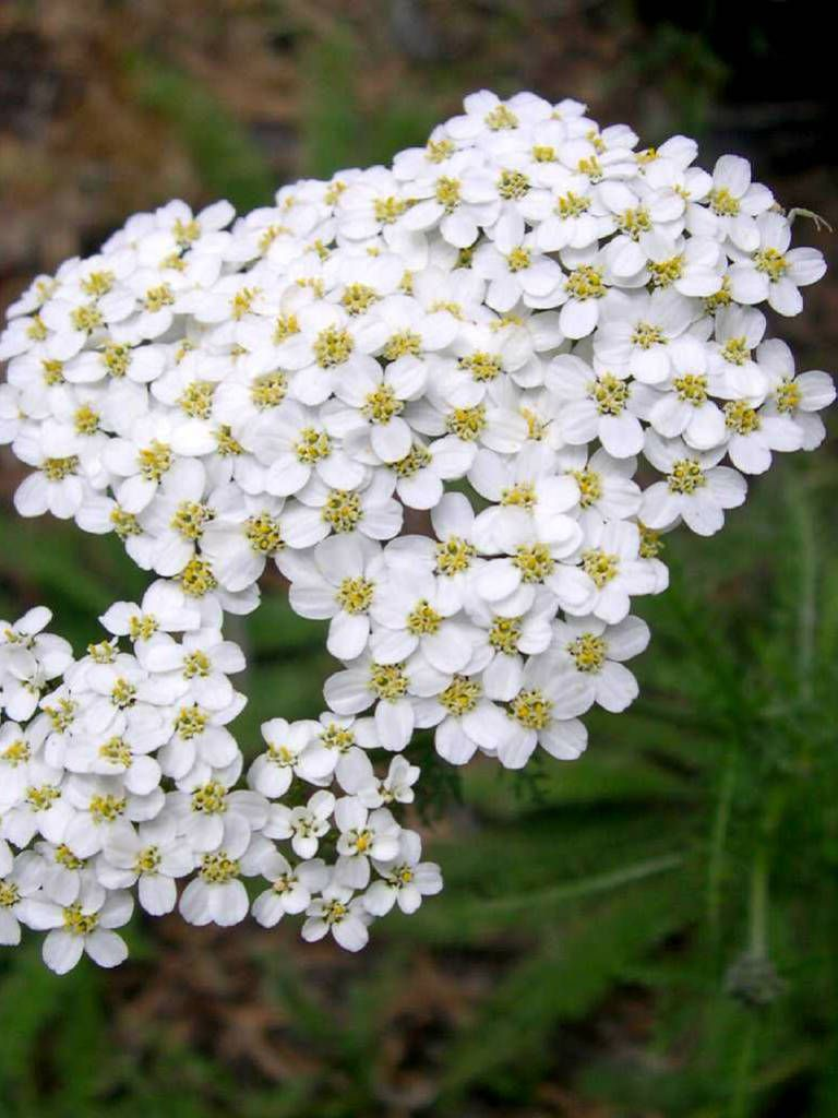 Achillea Millefolium Yarrow Common Yarrow Plant Profile And More Photos At Http Worldoffloweringplants Achillea Medicinal Plants Medicinal Herbs Garden