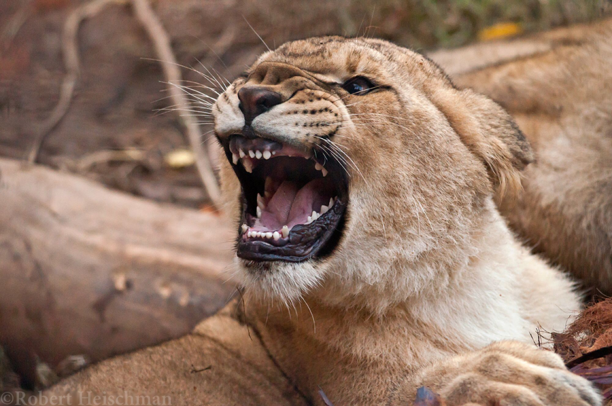 Lion Cub 9176 by robbobert on @DeviantArt