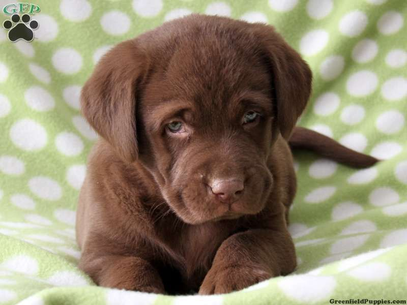 Chocolate Lab Puppies Skylar Chocolate Lab Puppy For Sale From