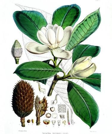 magnolia flower diagram - google search | botanical illustration, botanical  drawings, botanical art  pinterest