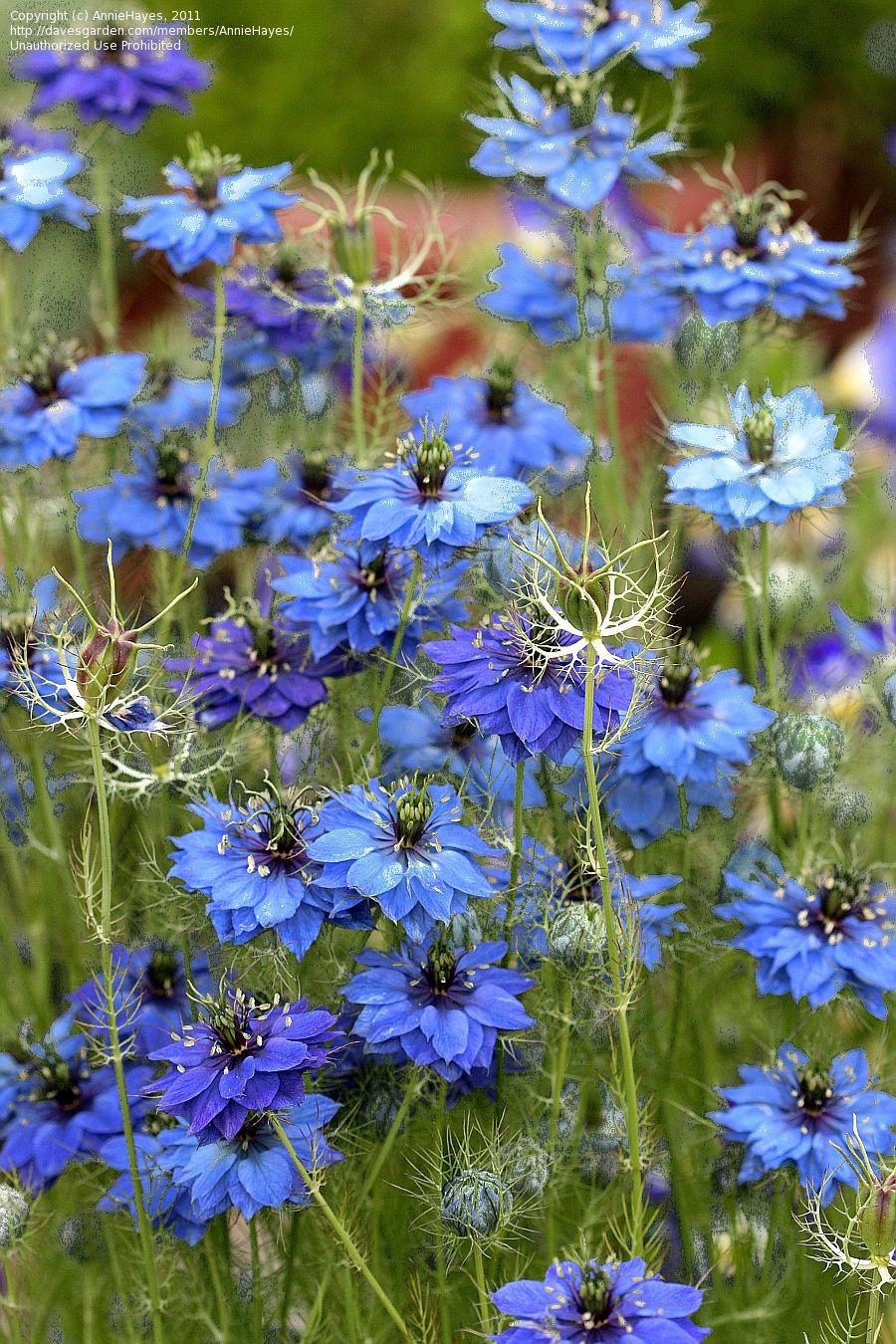 Love In A Mist Miss Jekyll Indigo Nigella Damascena Blue Garden Plants Cottage Garden