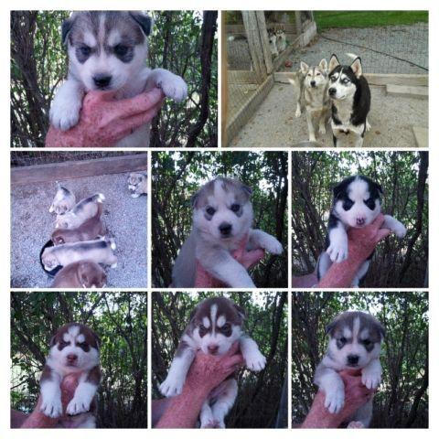 Siberian Husky Puppies In Barrie Ontario Puppiesforsaleontario