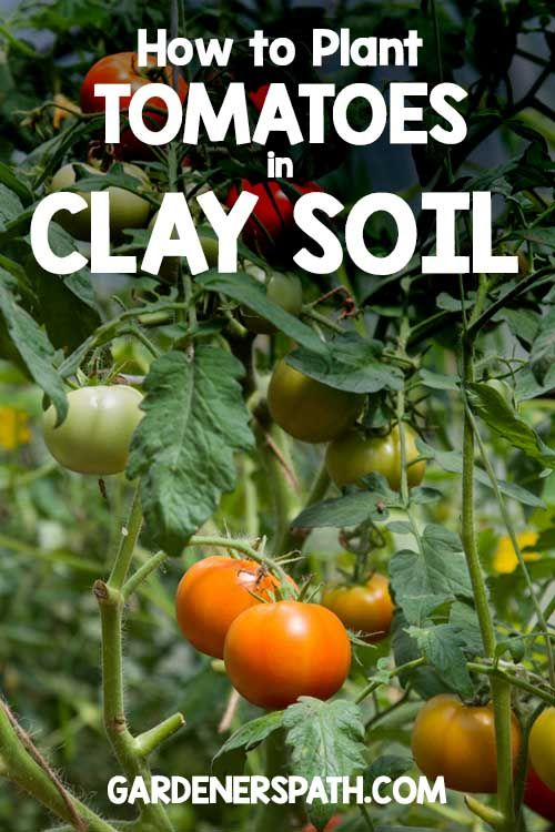 How To Plant Tomatoes In Clay Soil Clay Soil Clay Soil 400 x 300
