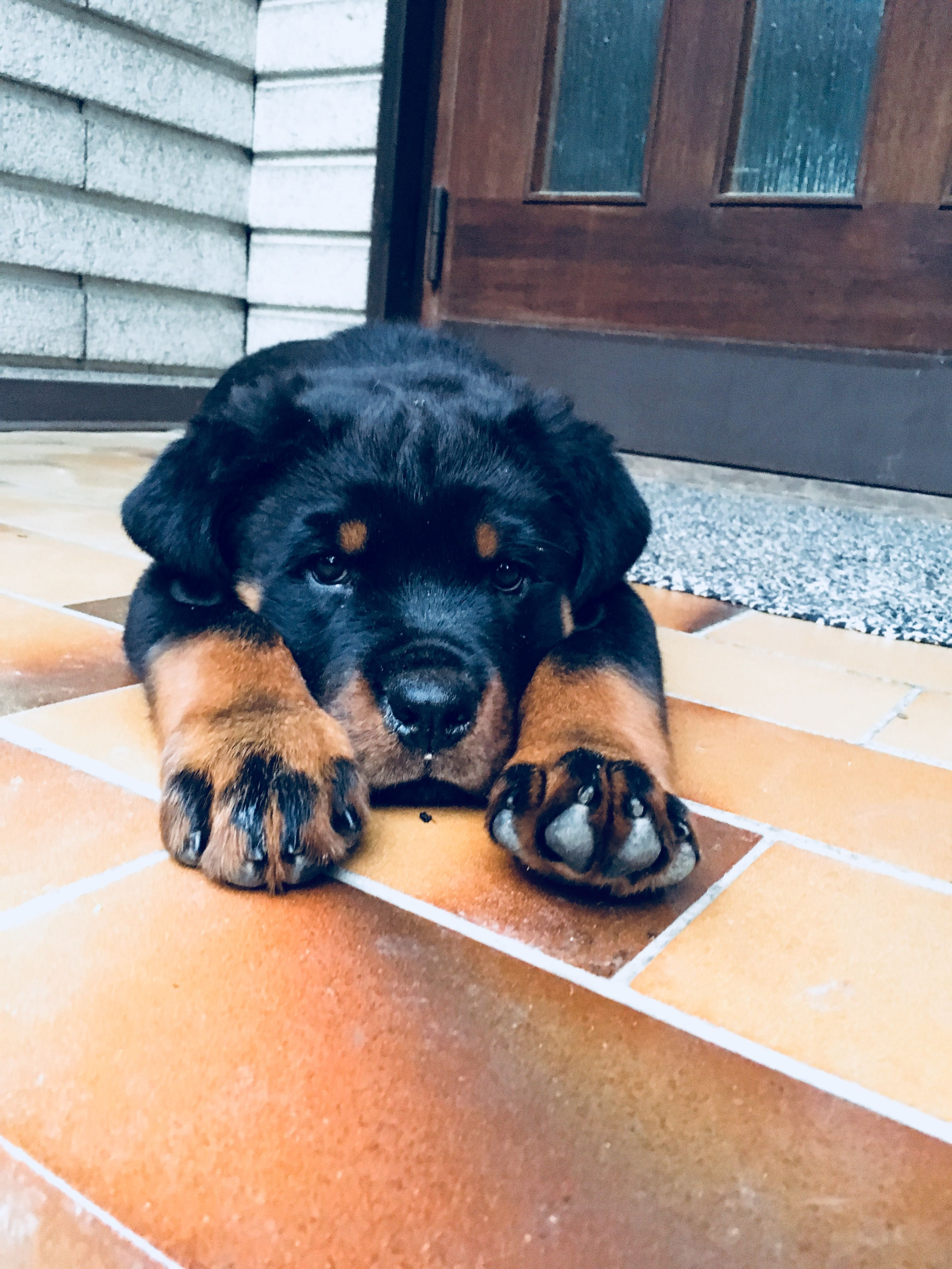 Rottweiler Loving Confident And Loyal Rottweiler Puppies Rottweiler Rottweiler Training