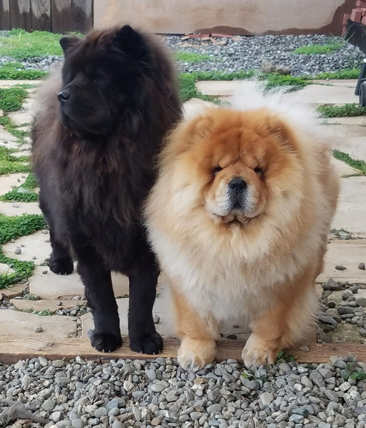 Pin By Kirsten Whitfield On My Chow S Big Dogs Chinese Dog