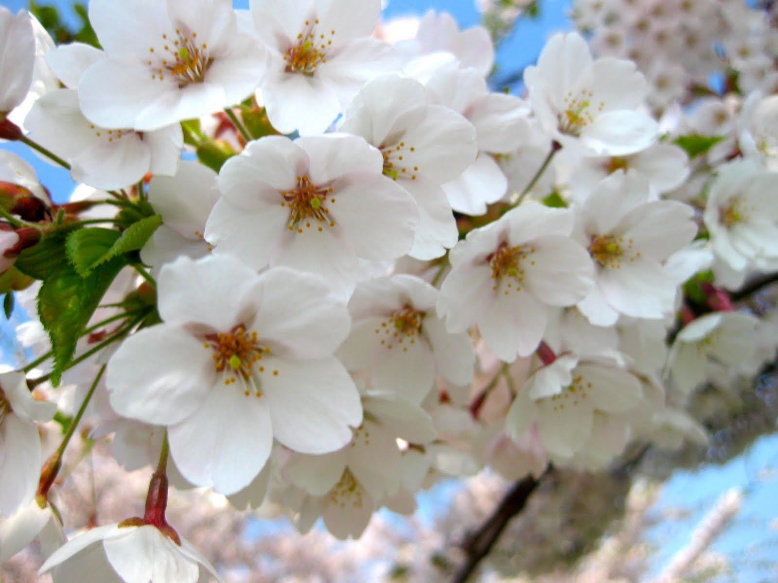 White apple flowers spring pinterest apples flower and white white apple flowers mightylinksfo