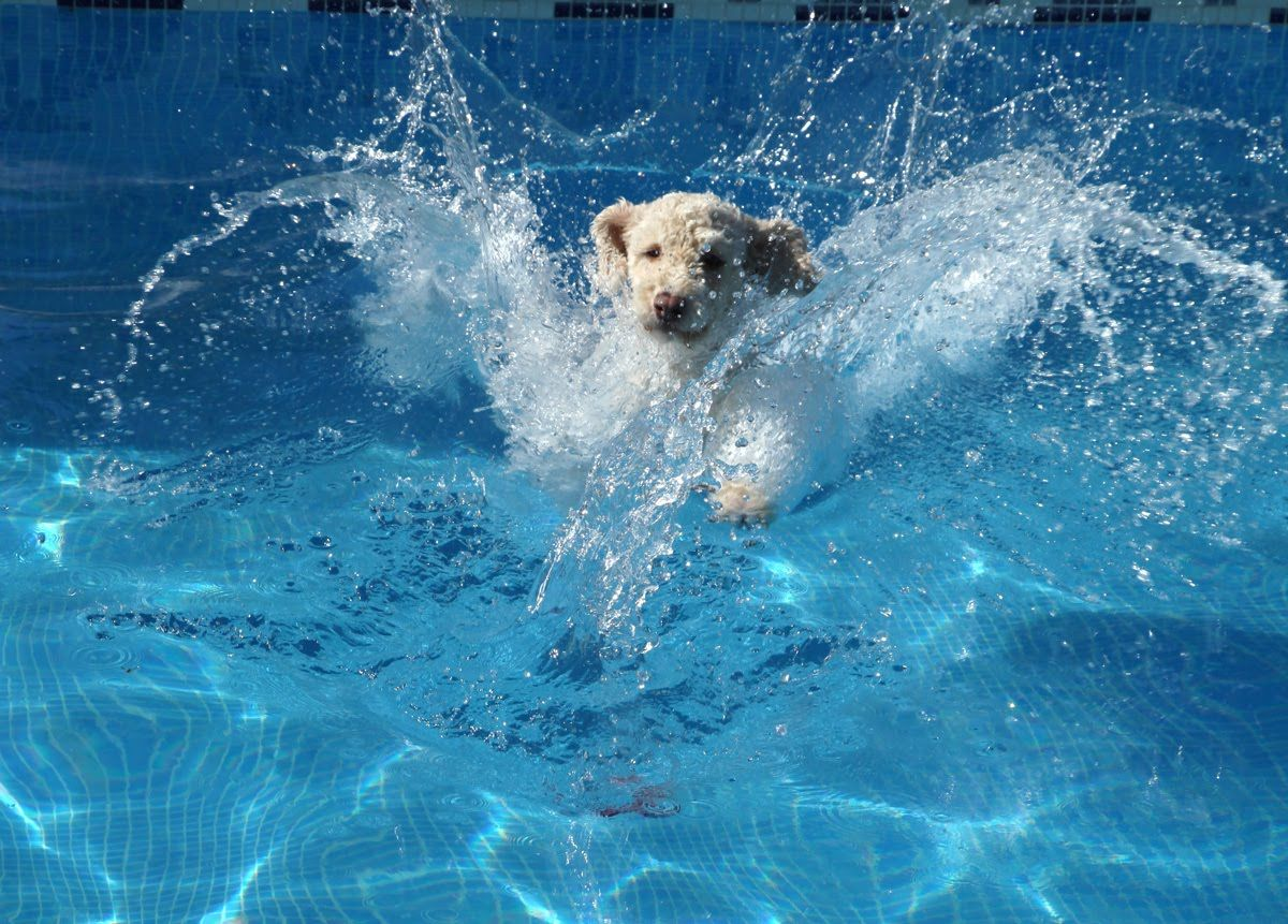 Spanish Water Dog Jumping And Diving In A Swimming Pool Pinned By Water