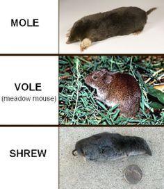 Image Result For Vole Versus Shrew House Garden Pests