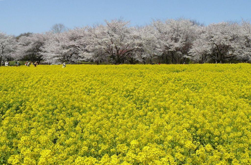 菜の花と桜。昭和記念公園。